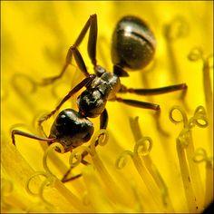 Yellow ant flower macro