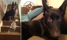 Harry the German Shepherd causes thousands of pounds worth of damage