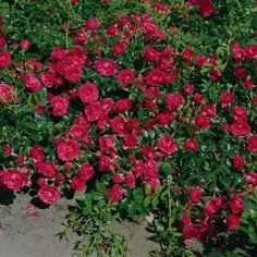 Rody® Red Roses, Half, Garden, Pink, Garten, Lawn And Garden, Gardens, Gardening, Outdoor