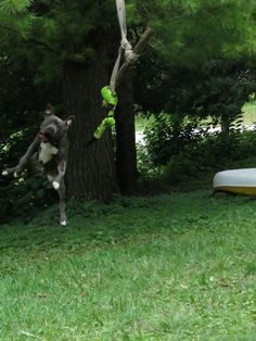 """Oh, that silly #pittie! ---- Knight """"Sabre"""" the Thunderfoot - 10 Months, Blue Nose, Blue Brindle Pitbull."""