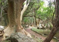 Isla de los Ombues, Lavalleja. The largest concentration of giant Ombu trees.