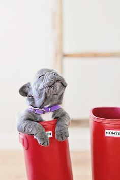 Frenchie in a boot. Adorable!
