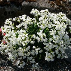 """Lewisia cotyledon  - Lewisia.  I believe I bought """"White Splendor.""""  Western native succulent.  Likes well-drained soil.  Water when it's beginning to dry.  Full sun, reportedly easy to grow.  Love the delicate little flowers on this plant....very airy."""