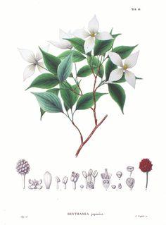 cornus kousa botanical illustration