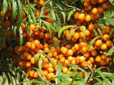 Special to the seabuckthorn is the suite of fatty acids found in fruit and seed oils, at concentrations as high as 35 per cent. This is one of the few plants to provide balanced concentrations of essential fatty acids and oils which are good for human health.