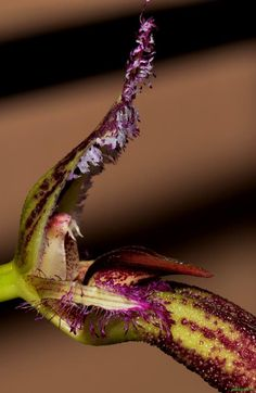 Bulbophyllum fascinator | Orchids Online