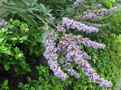 7月25日の誕生日の木は涼しげな紫色の花穂が印象的な「セイヨウニンジンボク」です。南ヨーロッパから西アジアにかけた一帯が原産地のシソ科の落葉低木樹です。葉の形がチョウセンニンジンに似ていることからニンジンボク、さらに原産地を冠してこの名になったようです。英名は「チェストツリー(chaste tree)」。コショウに似た風味のある実は「チェストベリー」と呼ばれ、ヨーロッパでは古くからホルモンのバランスを整えるハーブとして活用されていました。現在では健康食品やハーブティーに利用され、世界各地で栽培されています。「セイヨウニンジンボク」の名前は知らなくても「チェストツリー」または「チェストベリー」はご存知の方がいらっしゃるかも知れませんね。セイヨウニンジンボクは、花の少ない夏に紫色の涼やかな花を長い期間咲かせます。また、やや乾燥気味の土壌を好み、暑さ寒さに強く、樹形の乱れも少なく、手がかからない事から、庭木として人気が出て来ているそうです。もしかするとご近所で見かけているかも知れませんね。