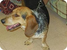 Pictures of Perry a Basset Hound/Pointer Mix for adoption in Bakersfield, CA who needs a loving home.