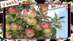 A variety of diseases can plague an (Malus domestica). Some problems are purely cosmetic, while others can greatly reduce the health or productiveness of the tree. All Fruits, Best Fruits, Growing Fruit Trees, Front Range, Apple Tree, Garden Plants, Things To Do, Colorado, Flowers