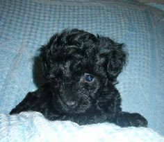 Tiny Toy Poodles.  This is actually our poodle Chloe at 3 months old-her online add we found and decided we had to have her.