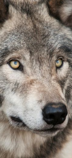 Near picture of a gray wolf Check our wolf collection on our website for all wolf lovers #wolf #wolves #doonaire