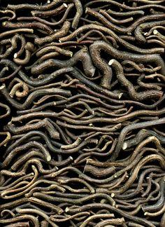 Corylus avellana - horticultural art