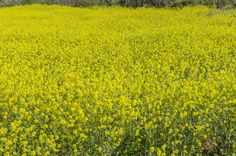 Yellow Field by Eugenio Mondejar on 500px
