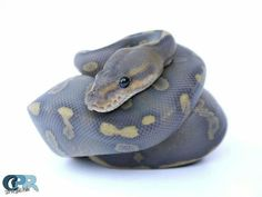 Super Chocolate Ghost by Crystal Palace Reptiles – Animals Pretty Snakes, Cool Snakes, Beautiful Snakes, Cute Reptiles, Reptiles And Amphibians, Beautiful Creatures, Animals Beautiful, Cute Animals, Snake Breeds