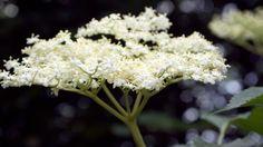 Černý bez Vodka, Flowers, Plants, Syrup, Plant, Royal Icing Flowers, Flower, Florals, Floral