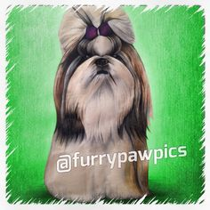 If you're going to make history, at least #MakeHistoryCute like me in my @furrypawpics portrait!!! #furrypawlife www.furrypawpics.com #instaart #petart #art #shihtzu #shihtzusofig #instashihtzus