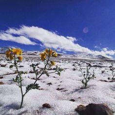 Nieve y flores en desierto de Atacama, Chile.