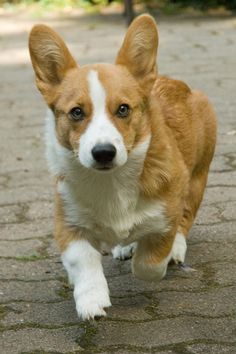 Someday I'll have a Corgi that follows me where I go in my garden.