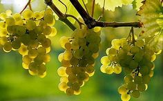 grape seed contains flavonoids, vitamin E and phenolic oligomeric anthocyanidin - Healthy Recipes! Vitamin E, Famous Drinks, Fruits And Veggies, Budapest, Portal, Seeds, Healthy Recipes, Amazing, Photography