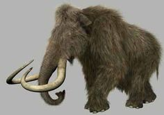 Pleistocene Extinction - A North American Woolley Mammoth