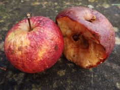 a decaying apple