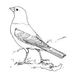 Click To See Printable Version Of Brown Headed Cowbird Coloring Page