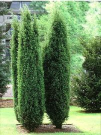 juniperus communis 39 hibernica 39 around jacksons nurseries. Black Bedroom Furniture Sets. Home Design Ideas