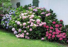 backyard designs – Gardening Ideas, Tips & Techniques Love Flowers, Colorful Flowers, Hydrangea Macrophylla, Blue Hydrangea, Raised Garden Beds, Small Gardens, Trees To Plant, Planting Flowers, Garden Design
