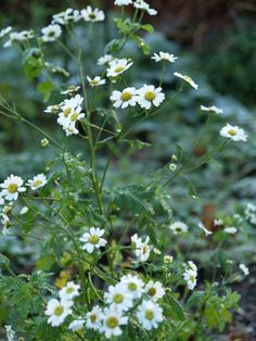 Feverfew (Tanacetum parthenium) - it could have been midsummer, but it's almost yule! December 6th 2014