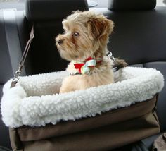 Mozart on the Go! Shorkie Puppy delight!