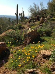 McDowell Mountain Hiking wildflowers in the desert