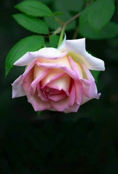 Pretty Roses, Beautiful Roses, Beautiful Gardens, Love Rose, Love Flowers, Wedding Flowers, Peony Flower Photos, Rose Flower Wallpaper, Rose Bouquet