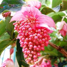 Flower - Blumen Medinilla magnifica more commonly known as the Malaysian Orchid, despite it not bein Unusual Flowers, Amazing Flowers, Pink Flowers, Beautiful Flowers, Unusual Plants, Colorful Roses, Ikebana, Dream Garden, Pink Garden