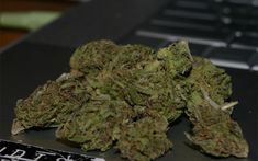 User-Friendly Search Service Wikileaf Appeals to Broad Market   The Marijuana Times