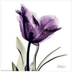 Art.com Royal Purple Parrot Tulip Wall Art Print ($25) ❤ liked on Polyvore featuring home, home decor, wall art, backgrounds, purple, art, flowers, filler, purple wall art and purple flower wall art