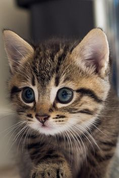 Cute Baby Animals, Animals And Pets, Funny Animals, Cute Cats And Kittens, Kittens Cutest, Baby Kittens, Pretty Cats, Beautiful Cats, Domestic Cat