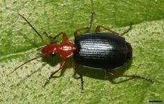 El escarabajo que inspiró tecnologíaantirrobo