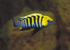 Cynotilapia afra (Cobue) by Bluegrass Aquatics, via Flickr