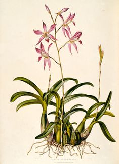 Laelia autumnale by at Royal Horticultural Society