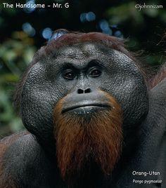Handsome Orang-Utan by John Bakar - Johnnizam, via Flickr