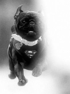 """M. .  """"""""NO TIME TO EXPLAIN  MUST SAVE THE WORLD!!! """""""".  """""""" SUPER-PUG RETURNS"""""""""""