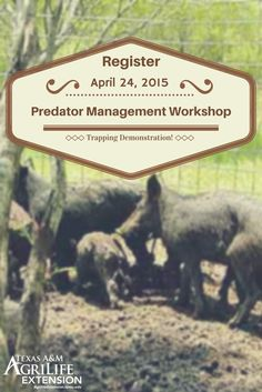Do you have problems with Feral Hogs & other predators on your land? Don't miss the Predator Management Workshop and Trapping Demonstration on April 24 from 9 a.m-3 p.m in Edwards County.