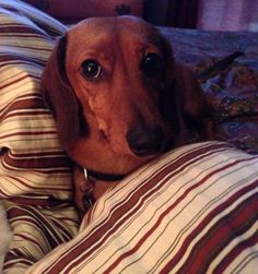 A dashing dachshund doing what they do best- snuggling in bed