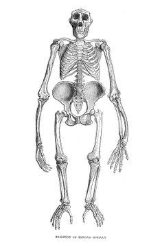The skeleton of a female gorilla.