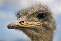 Afbeeldingsresultaat voor struisvogel