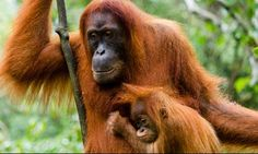 Orang utan and baby in #Indonesia: http://www.wanderlust.co.uk/magazine/blogs/wanderlust-team/the-wanderlust-guide-to-the-best-of-indonesia?page=all