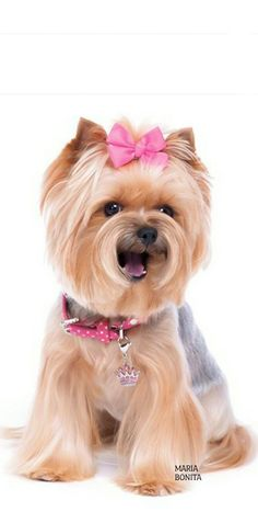 The Hottest Hairstyles for Your Dogs Yorkshire Terrier Haircut, Yorkshire Terriers, Yorkshire Puppies, Shih Tzu, Yorkie Cuts, Animals And Pets, Cute Animals, Yorkie Haircuts, Dogs And Puppies