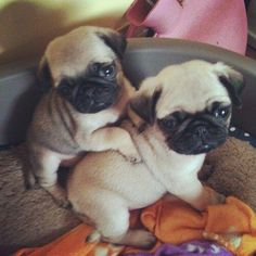What's better than one Pug? Two Pugs! Cute Pug Puppies, Cute Dogs, Dogs And Puppies, Doggies, Bulldog Puppies, Terrier Puppies, Boston Terrier, Cute Baby Animals, Animals And Pets