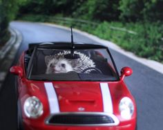 hedgehog in a mini cooper...cant get much better than that