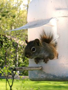 Squirrel feeder.this is a perfect for bait so I can shoot them when he is getting some food!!!!